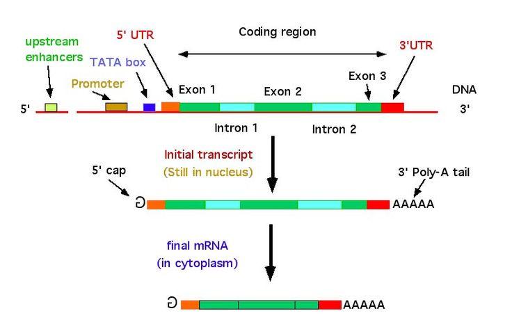 Image result for eukaryotic gene structure biology