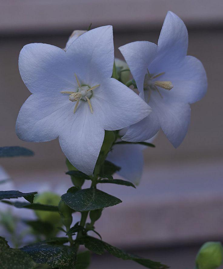 https://flic.kr/p/uHhxYX   fiori bianchi