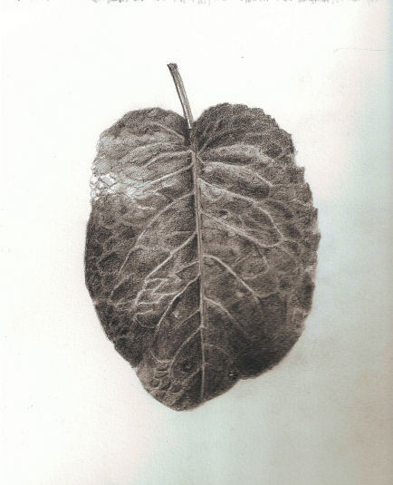 Graphite Leaf Drawing