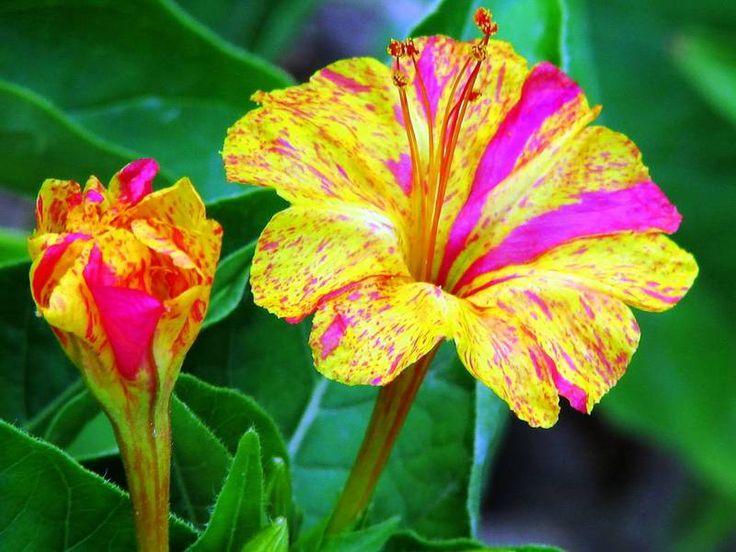 Цветок ночная красавица: описание мирабилиса, способы размножения и посадка семян, правила ухода