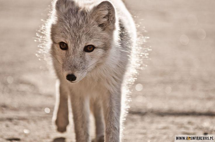 Super cute arctic fox - Spitsbergen, Svalbard.