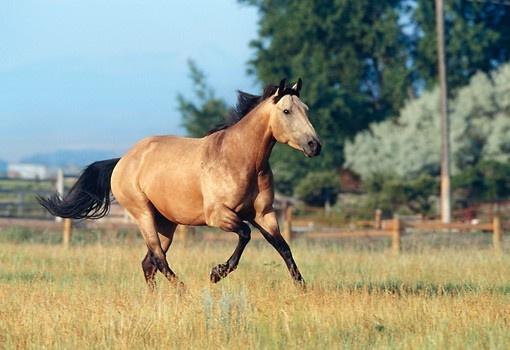 quarter horse buckskin - photo #19