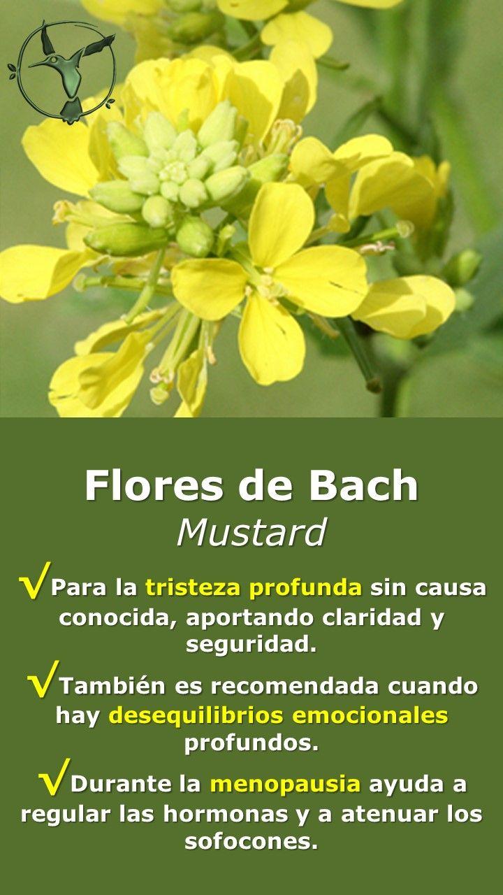 #floresdebach #salud #mujer #menopausia #tristeza #beneficios #en #español #mostaza #mustard #remedies #terapia #terapias #alternativas #remedios
