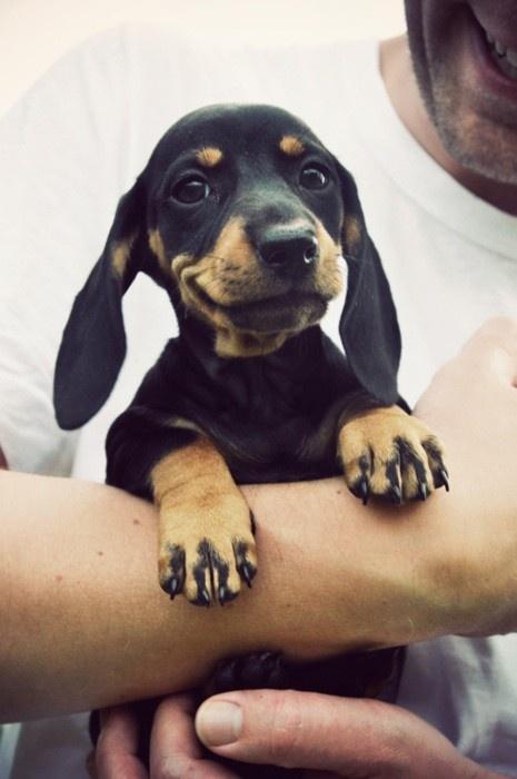Weiner dog~~~ 3 this puppys little smirky face.
