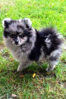 CKC Blue MERLE POMERANIAN PUPPY THIS IS MY DOG! I'm freaking out a little that he's on Pinterest.