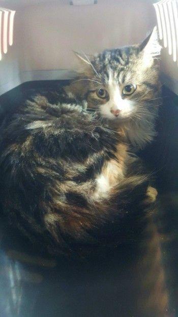 ZEPHYR (Ecole du chat de Toulouse) chat accidenté, fracture de la patte
