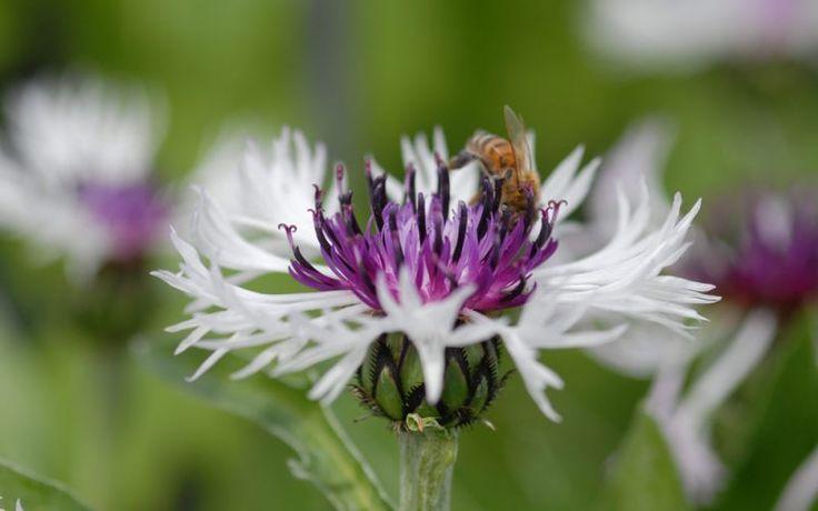 1 Centaurea montana Amethyst in Snow bee nectar long flowering cornflower plant