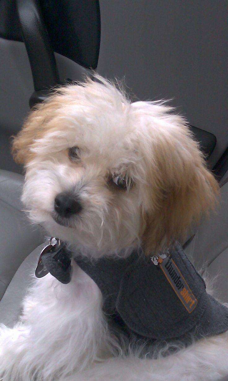 Maltipoo Puppies for sale in New Brunswick Canada