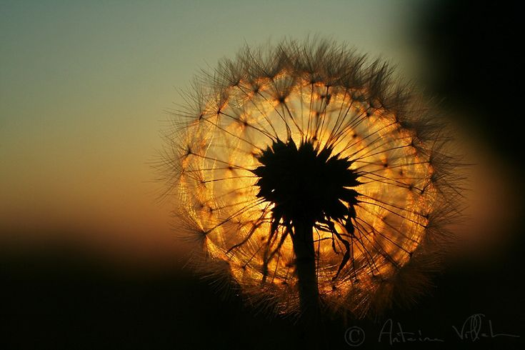 Burning dandelion by ~Fresnay on deviantART