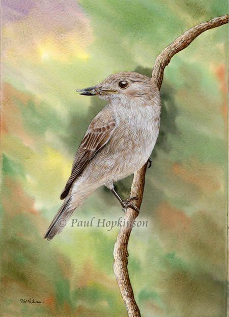 Spotted Flycatcher Bird Watercolour Limited Edition by DevonArtist