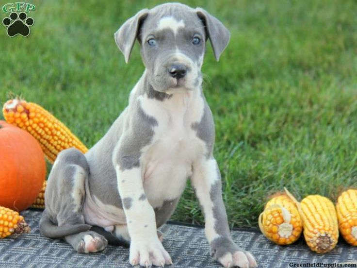 Gavin, Great Dane puppy from New Holland, PA