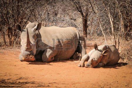 rhino: Mother White rhino with baby Rhino, South Africa.