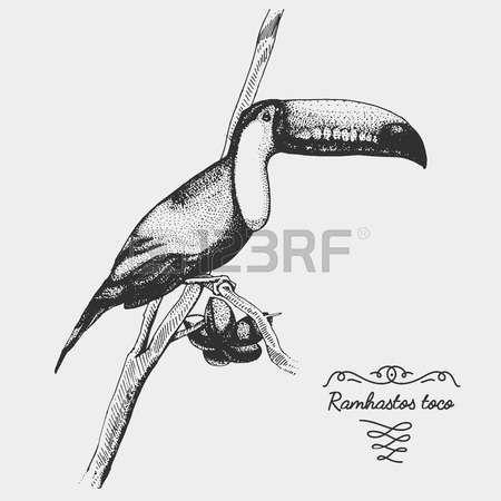Resultado de imagen para tucan dibujo realista