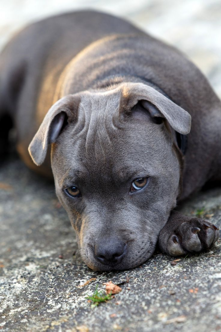 https://flic.kr/p/cpHSPd | Staffie Puppy | Staffordshire Bull Terrier puppy