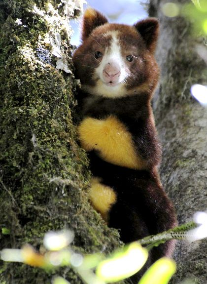 A juvenile Matschie's tree kangaroo is seen in the tropical forest of the newly created YUS Conservation Area of Papua New Guinea.
