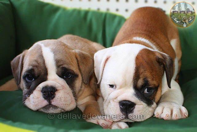 Allevamento Bulldog Inglese - Vendita Cuccioli di Bulldog inglese