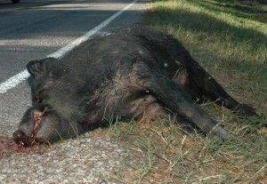 Stop Hog-Dog Fighting: A Deadly And Violent Sport Of Fighting Dogs Against Pigs, popular in North Carolina.