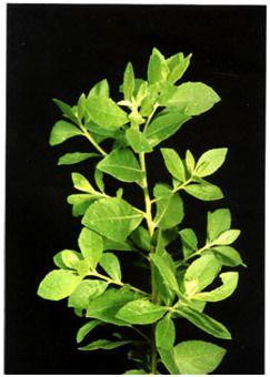beluntas = Plucheacea folium = Marsh fleabane