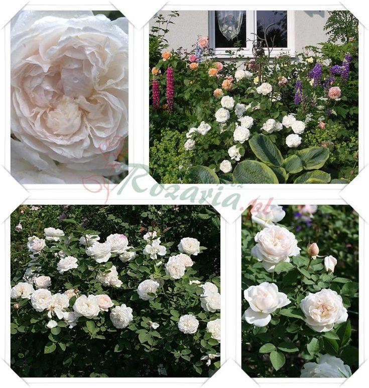 Auscat róże angielskie