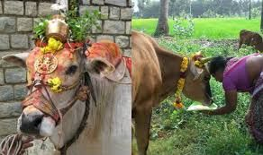 Mattu Pongal (3rd Day): Mattu Pongal day is dedicated to the cows, oxs and people adorn them with beads, bells and worship them.