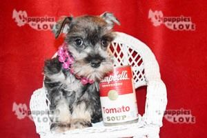 Schnauzer (Miniature) puppy for sale in SANGER, TX. ADN-67390 on PuppyFinder.com Gender: Female. Age: 8 Weeks Old