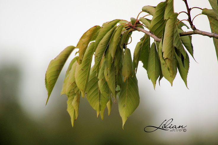 Blade fra kirsebærtræet