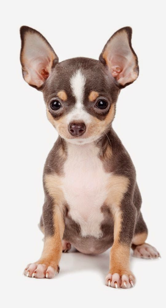 I used to hate little dogs... I called them yappers or ankle biters. A girlfriend I started dating years ago had one that changed my view entirely. I wont buy anything else but Chihuahuas now....