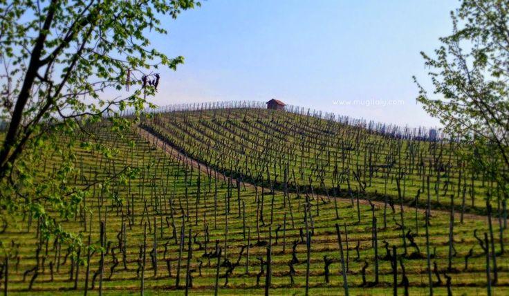 Langhe - Unesco 2014 vineyard