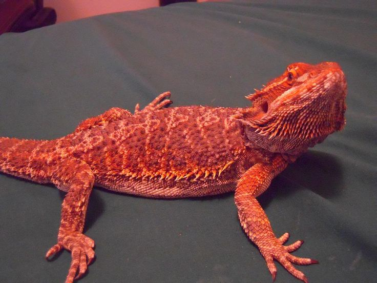 Blood Red Bearded Dragon   My Pet Dragon. - Off Topic - Linus Tech Tips