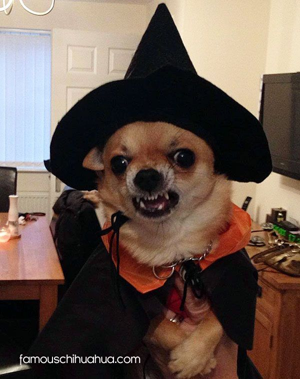 Cute Chihuahua Halloween Costume | Pets and Dogs