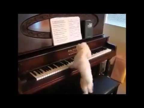 Un insolito Musicista: Barboncino, legge spartito suona e canta