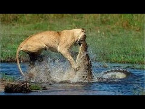Lions vs Crocodiles Discovery Wild Lion Documentary