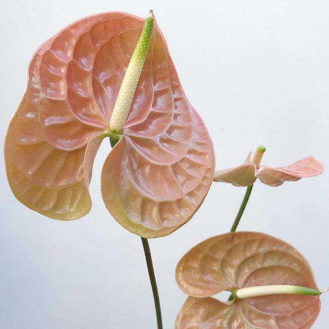 Muddy Peach Anthuriums Anthurium Flower Anthurium Peach Flowers