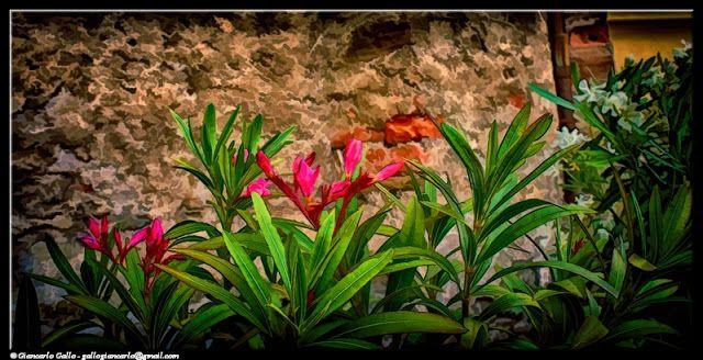 Oleandro - photographic processing (327) - Elaborazione fotografica della fioritura di una pianta di oleandro sulla collina di Pinerolo