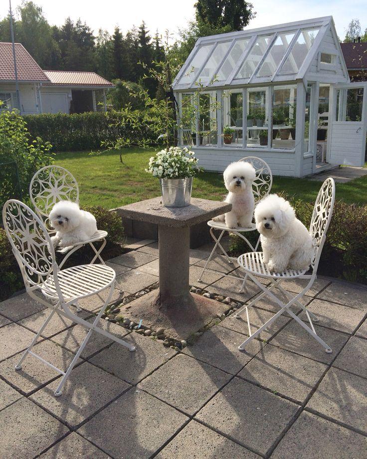 Elsa&Alma  Bichon frise  friends  Our garden