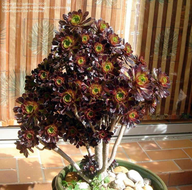 Full Size Picture Of Purple Crest Aeonium Black Tree