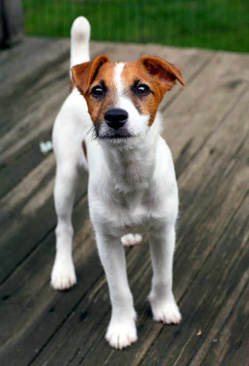 Jack Russells. They can see right through you. At least that's how it is in our house!:)
