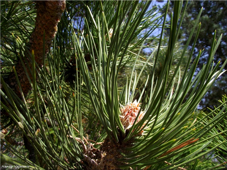 Floarea pinului