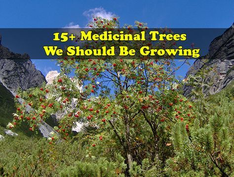 15 Plus Medicinal Trees You Should Be Growing On Your Homestead