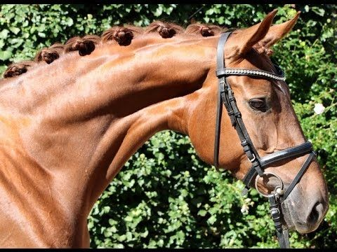 2011 top Hanoverian dressage mare 16.3 hh / 170 cm www.sporthorses-onlin...
