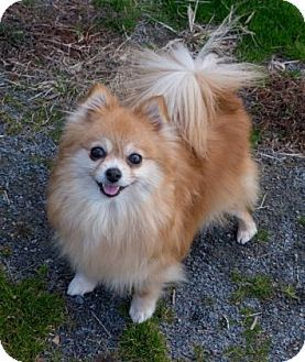 pomeranian breeders va 1000 ideas about pomeranian mix on pinterest pomsky 1341
