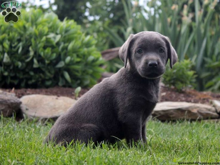 Eve, Labrador puppy for sale in New Providence, Pa