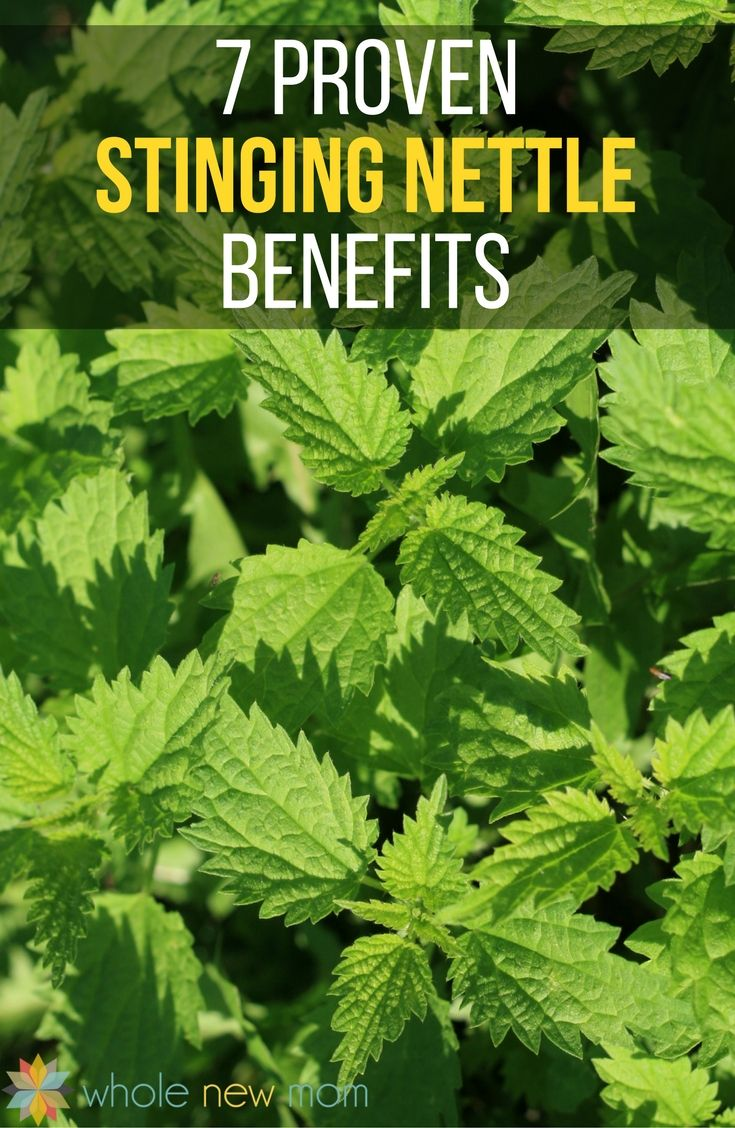 Nettle isn't typically a plant that gardeners or homeowners want around, but there are so many proven benefits of stinging nettle for health, you're sure to change your mind about it!