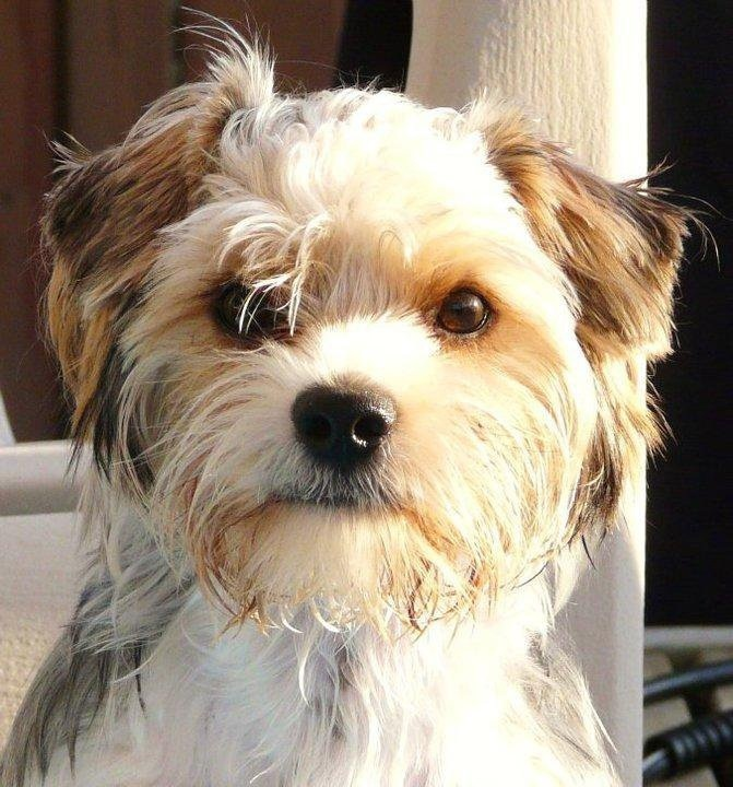 1000+ images about Biewer on Pinterest | Terrier puppies ...