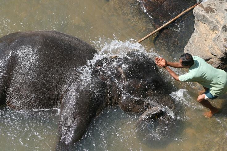 Washing elephants, Pinnawala, Sri Lanka, 2009 #greatwalker