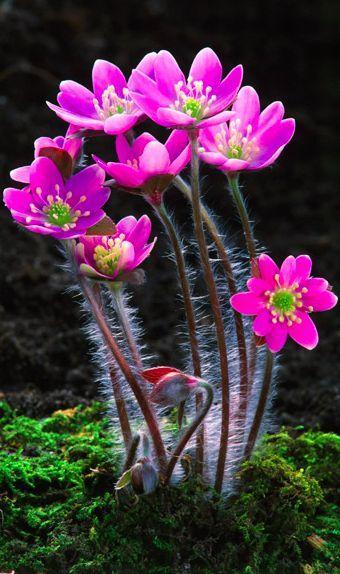 Pink flowering Hepatica nobilis