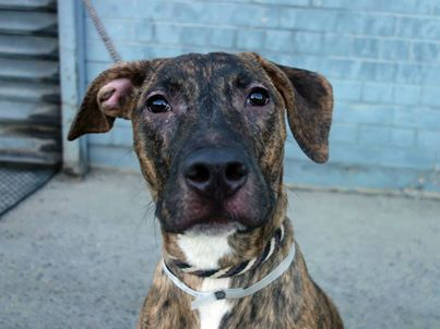 DIES TODAY!!!!!!HELP!!!!!! 9 month old Morus just can't seem to catch a break. Adopted only a few short weeks ago, he's been returned and now on tomorrow's euthanasia list! TO BE DESTROYED - 02/23/14 Brooklyn Center. My name is MORUS aka Rocky. My Animal ID # is A0988993. Neutered male br brindle/white pit bull mix. The shelter thinks I'm about 9 MONTHS old https://www.facebook.com/photo.php?fbid=739054882774060&set=a.611290788883804.1073741851.152876678058553&type=3&theater