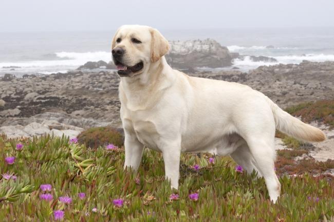 Labrador Retriever Dog Very Very Very Nice English Type Yellow