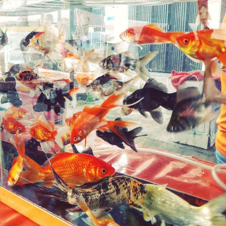 You can buy #goldfish at the local #market #mexicolife