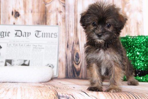 Shorkie Tzu puppy for sale in BEL AIR, MD. ADN-66661 on PuppyFinder.com Gender: Female. Age: 9 Weeks Old